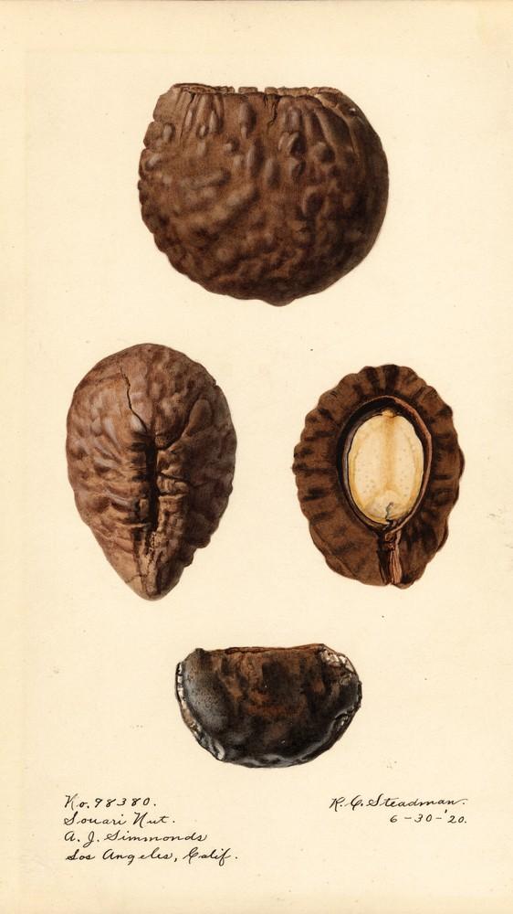 Caryocar Nuciferum